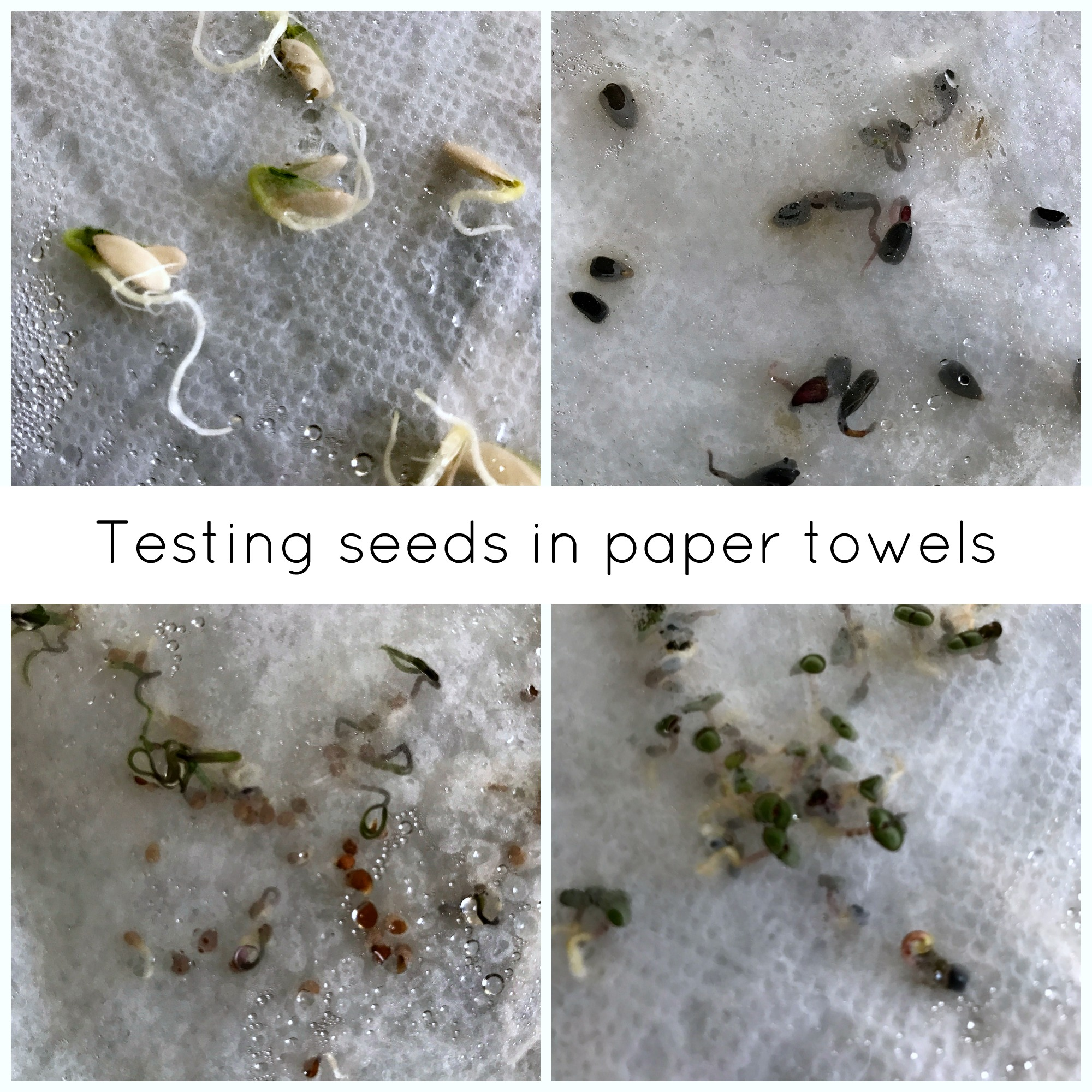 How to test seeds using paper towels.