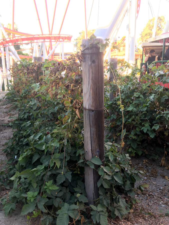 Boysenberry Plants at Knott's Berry Farm