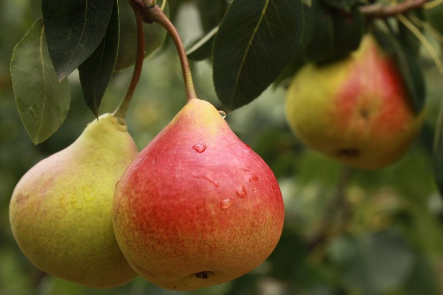 What's in Season Guide: pears